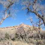Cottonwoods forming a gateway arch near the mouth of Mule Canyon